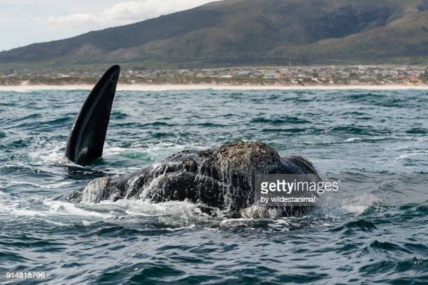 female southern right whale surfaces to breath as her calf plays in the background. image taken in front of the town kleinmond, betty's bay, south africa. - overberg stock pictures, royalty-free photos & images