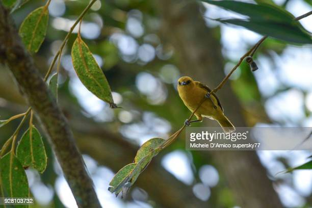female spectacled weaver (ploceus ocularis) - michele weaver stock pictures, royalty-free photos & images