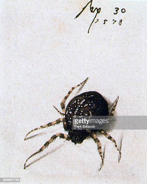 'Female Spider' 1578