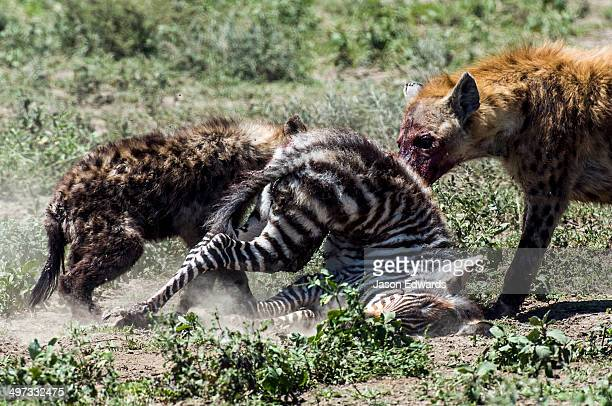A female Spotted Hyena and her pup feed on a Zebra foal on the dusty savannah.