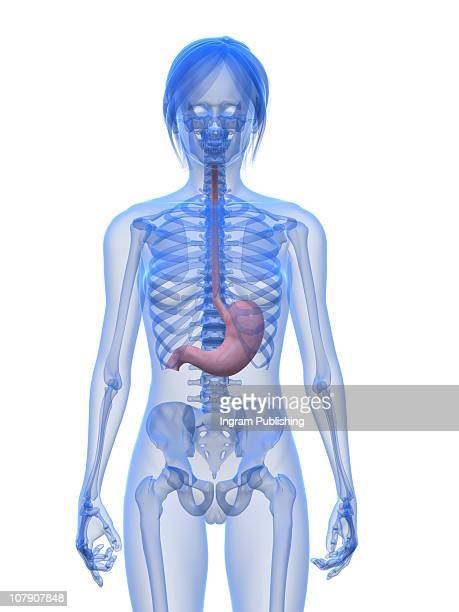 female stomach - human stomach internal organ stock photos and pictures