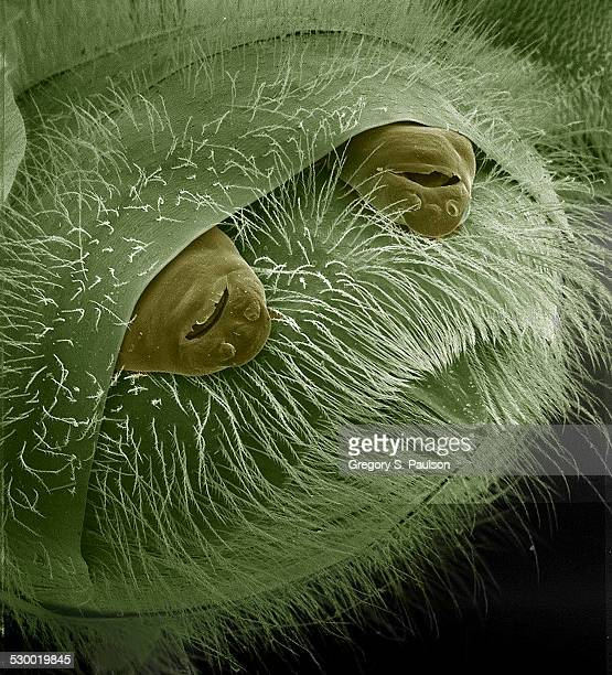 Female Strepsiptera protruding from the posterior end of their host, a bee SEM
