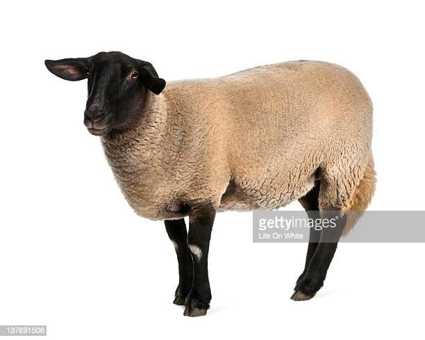 female suffolk sheep - ovis aries (2 years old) - female animal stock pictures, royalty-free photos & images