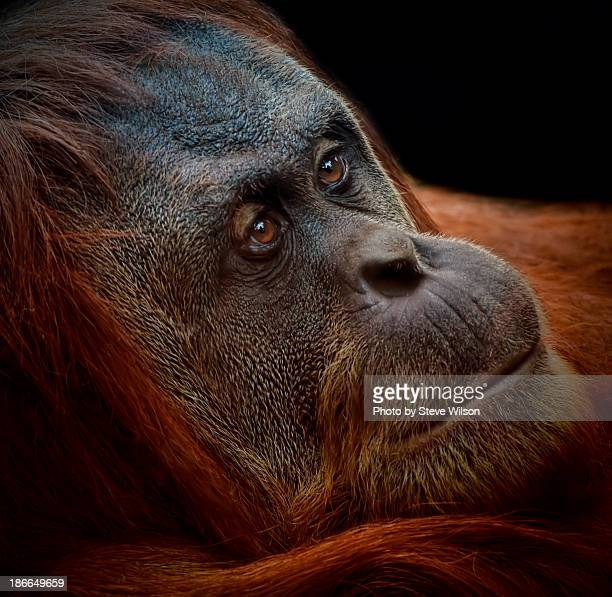 female sumatran orang-utan - chester zoo stock pictures, royalty-free photos & images