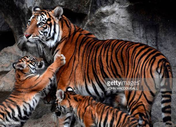 Female Sumatran tiger Mayang born in 2011 and on loan from an Indonesian zoo is surrounded by her cubs at Berlin's Tierpark zoo on November 22 2018...