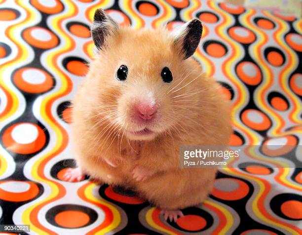 female syrian hamster chmurka - golden hamster stock pictures, royalty-free photos & images
