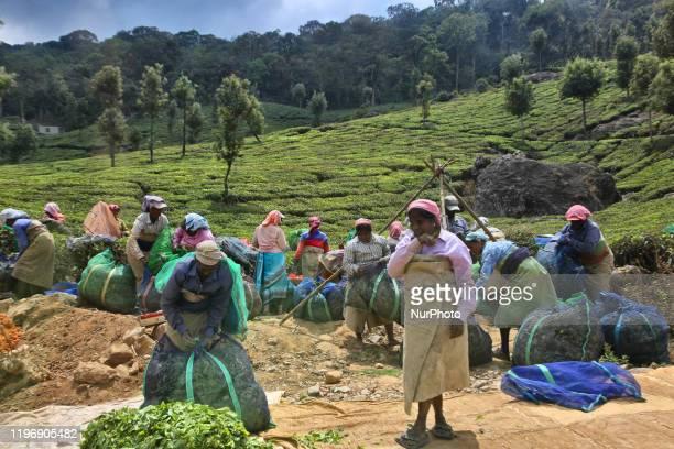 Female tea pickers bundle sacks filled with harvested tea leaves at one of the many tea estates in Munnar, Idukki, Kerala, India on 16 February 2019....