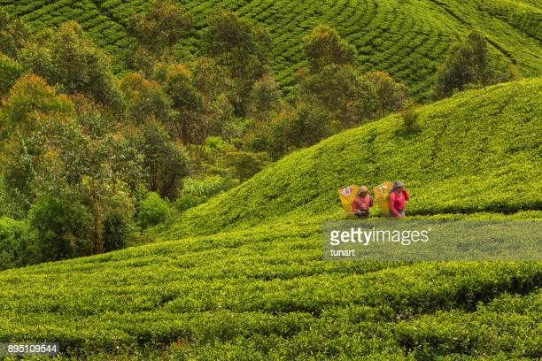 female tea pickers in terraced tea fields of sri lanka - tea crop stock pictures, royalty-free photos & images