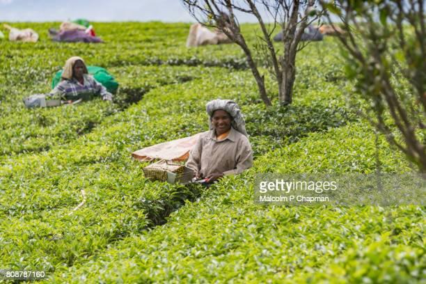 "female tea pickers working in plantation, munnar, kerala, india - india ""malcolm p chapman"" or ""malcolm chapman"" ストックフォトと画像"