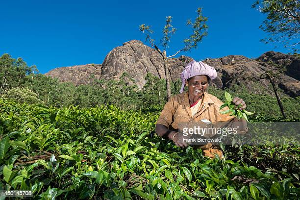 A female tea plucker is plucking tea leafs by hand situated around 1600 m above sea level in the Western Ghats