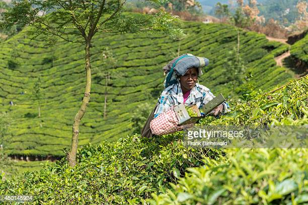A female tea plucker is plucking tea leafs using scissors situated around 1600 m above sea level in the Western Ghats