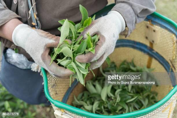 Female Tea Worker picking tea leaves in a tea plantation
