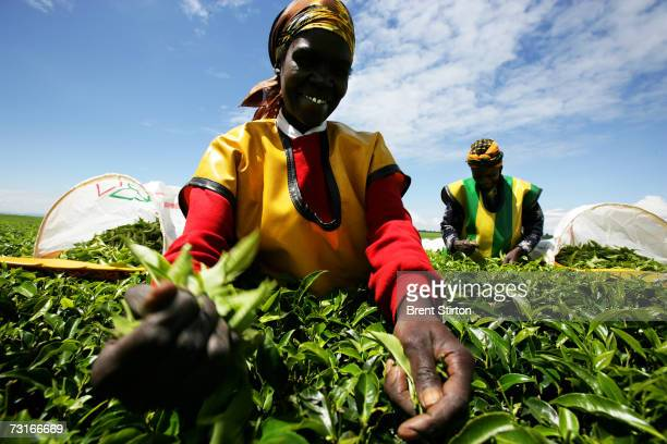 Female tea workers on the Unilever tea estate plantation December 2006 in Nairobi Kenya Unilever has made great progress in educating their workers...