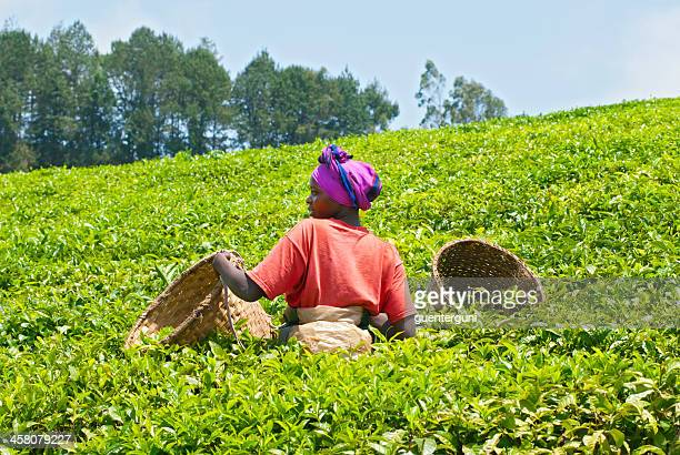 Female teapicker in a tea plantation, Rwanda