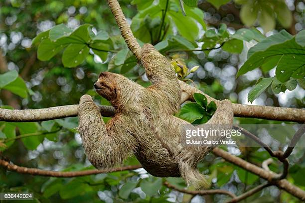 female three-toed sloth - three toed sloth stock photos and pictures