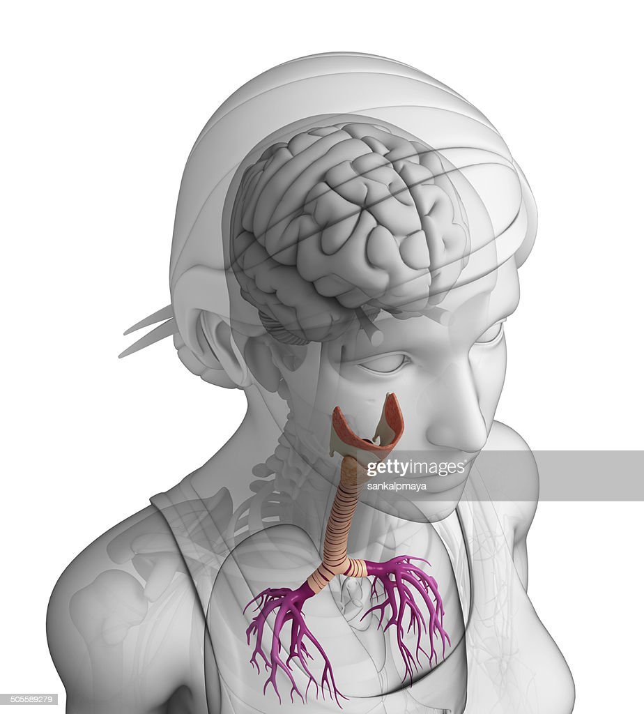 Female Throat Anatomy Stock Photo | Getty Images