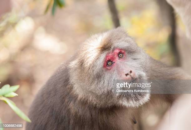 Female Tibetan Macaque in the wilderness of the Yellow Mountains.