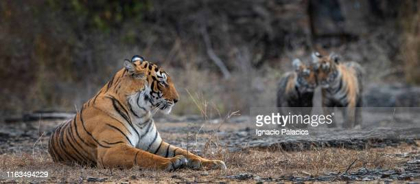 female tiger and cubs in ranthambore national park, india - ranthambore national park stock pictures, royalty-free photos & images