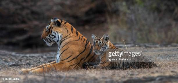 female tiger and cubs in ranthambore national park, india - bengal tiger stock pictures, royalty-free photos & images