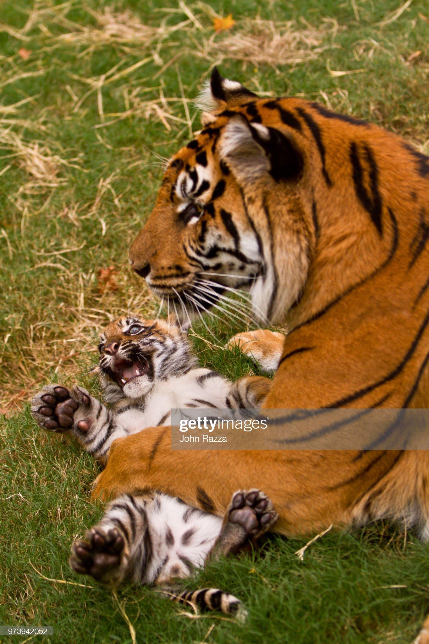 Female tiger (Panthera tigris) holding cub : Stock Photo