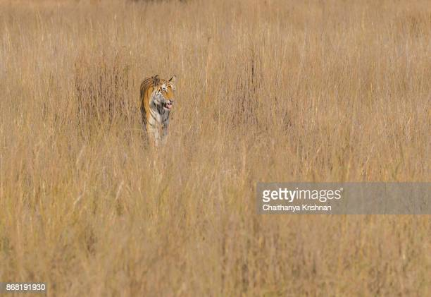 Female tigress emerging from the grassland in her daily routine to monitor the range