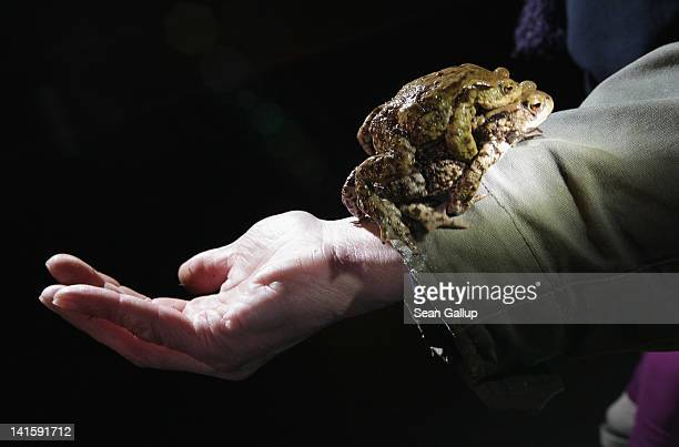 A female toad carrying her male partner walks up the arm of volunteer Burghard Sell after he caught them along an amphibian fence next to a road near...
