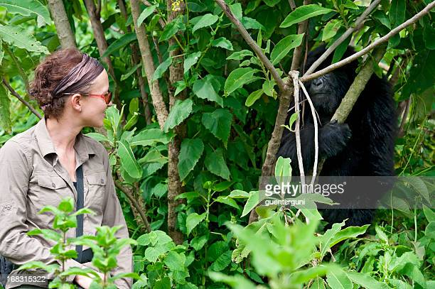 a female tourist observing a juvenile mountain gorilla - gorilla stock photos and pictures