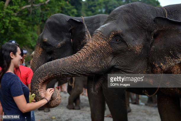 A female tourist seen having fun with an elephant At Elephant and Ecotourism Gunung Leuser National Park tourists can help bathing elephants on the...