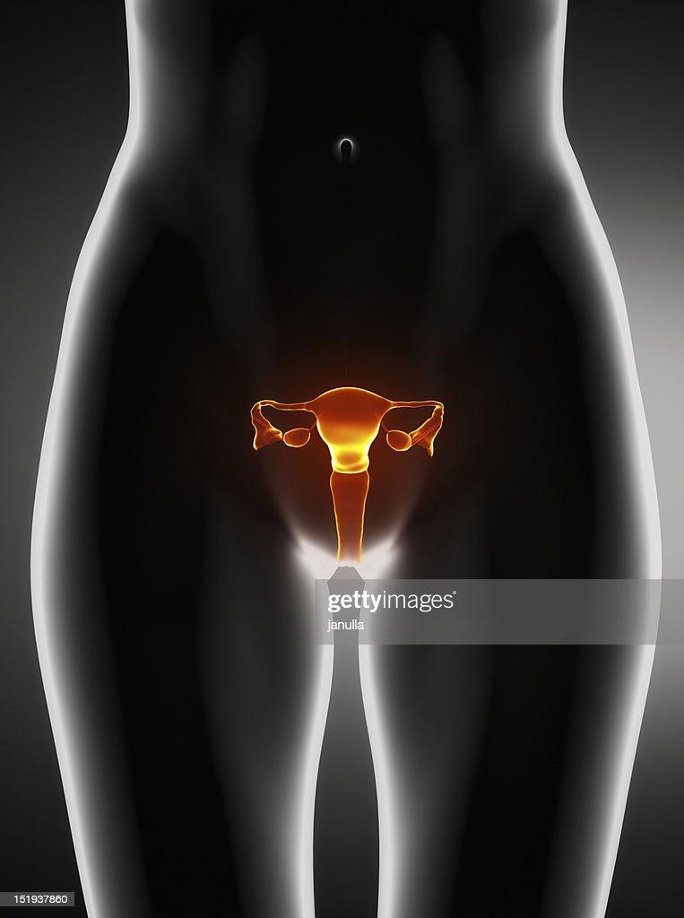 Female Uterus Anatomy Anterior View Stock Photo | Getty Images