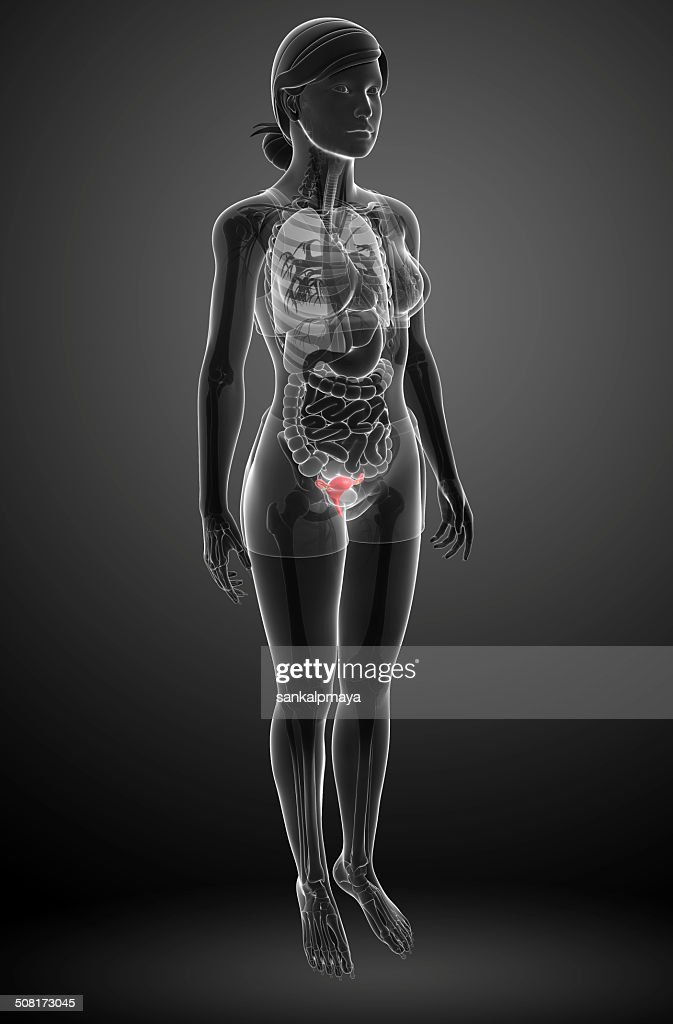 Female Uterus Anatomy Stock Photo Getty Images