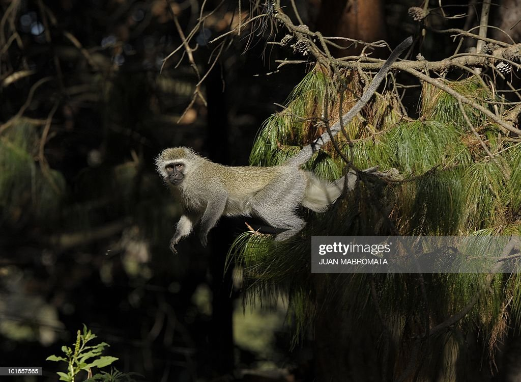 A female vervet monkey jumps from a pine tree in the town of Balgowan in KwaZulu-Natal province near Paraguay's base camp during the South Africa 2010 World Cup, on June 6, 2010.