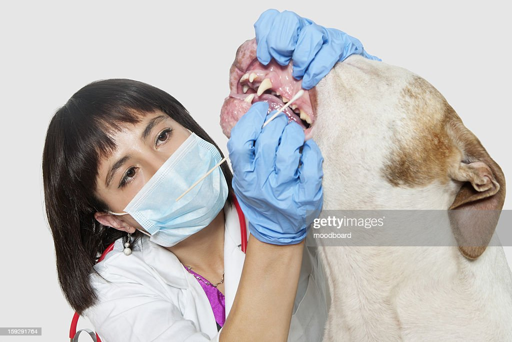 Female vet cleaning dog's teeth over gray background : Stock Photo