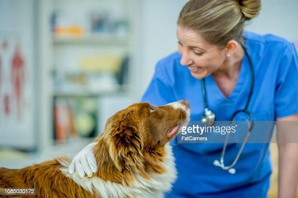 牧羊犬を持つ女性獣医 - 獣医 ストックフォトと画像
