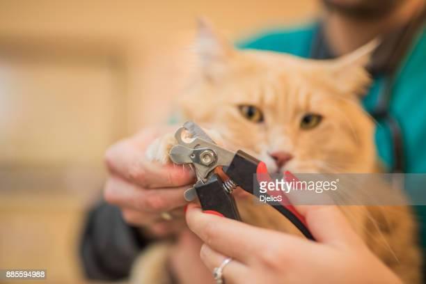 unhas veterinário feminino corte jovens maine coon gatos. - prego - fotografias e filmes do acervo