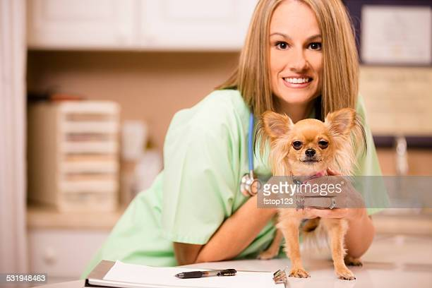 female veterinarian examines chihuahua pet dog in office, animal hospital. - long haired chihuahua stock photos and pictures