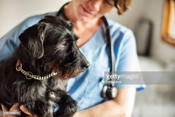 vrouwelijke dierenarts die een weinig hond in haar wapens houdt - alleen één mid volwassen vrouw stockfoto's en -beelden