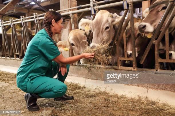 veterinaria femenina inspeccionando las respuestas de las vacas - ganado mamífero ungulado fotografías e imágenes de stock