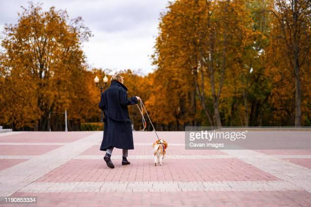 a female walks in the park with a cavalier king charles spaniel. - spaniel - fotografias e filmes do acervo