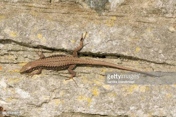 A female Wall Lizard (Podarcis muralis) warming up on a stone wall.