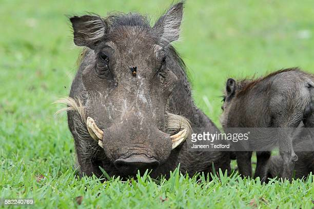 female warthog sitting with wasp on forehead - african wasp stock pictures, royalty-free photos & images