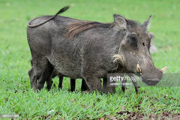 female warthog with young & wasp on forehead - african wasp stock pictures, royalty-free photos & images