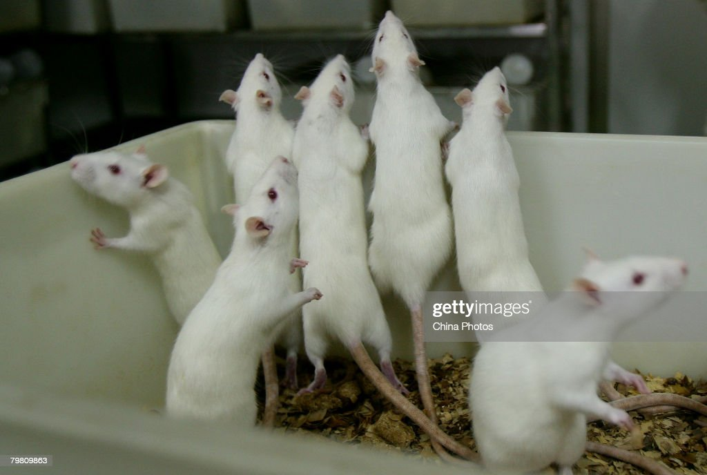 Female white rats stand in a basin at an animal laboratory of a medical school on February 16, 2008 in Chongqing Municipality, China. Over 100,000 rats and mice are used in experiments every year for pharmaceutical research in the lab, where the temperature is kept at 24 degrees centigrade.