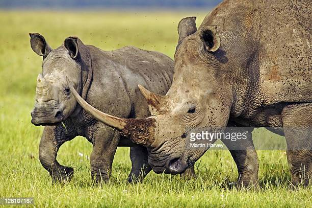 Female White Rhino, Ceratotherium simum, with very long horn and calf. Lake Nakuru National Park Kenya. Dist. Localised: Southern and East Africa