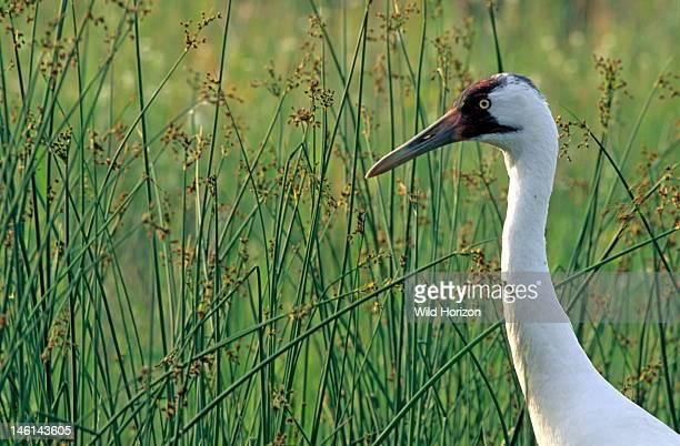 Female whooping crane in a marshy pond margin Grus americana International Crane Foundation Baraboo Wisconsin USA