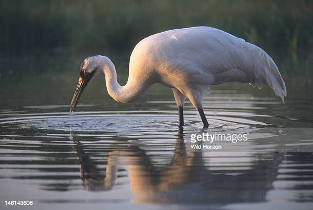 Female whooping crane named Oobleck hunting in a pond at the International Crane Foundation Grus americana International Crane Foundation Baraboo...