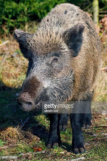 female wild boar sow in forest