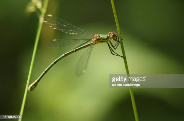 a female willow emerald damselfly, chalcolestes viridis, perching on a reed. - wildlife stock pictures, royalty-free photos & images