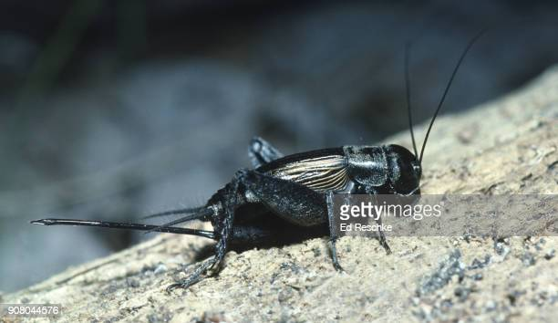 field cricket (gryllus pennsylvanicus) female with a long ovipositor for laying eggs deep into the soil. - ed reschke photography stock photos and pictures