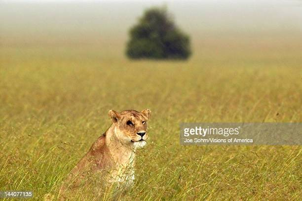 Female with one eye in grasslands of Masai Mara near Little Governor's Camp in Kenya Africa