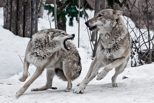 A female wolf snaps at a male wolf and he deftly dodges a bite 1129086109